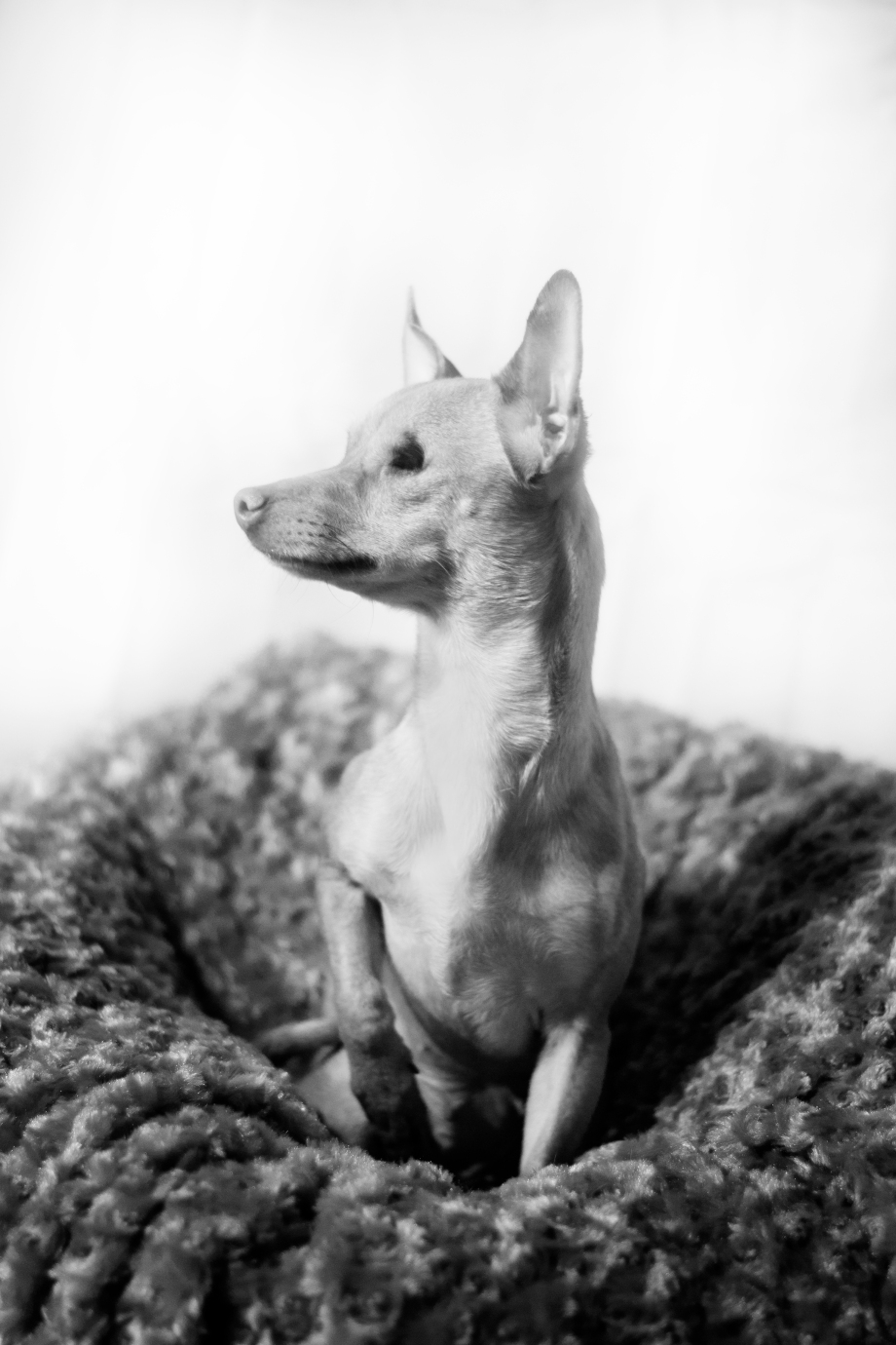 Lilly_Chihuahua